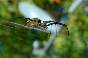 01- Garden Spider the Guardian by JoeCorreia