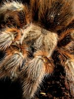 Mature female grammostola rosea  red form #3 by NEWShoah