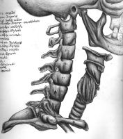 Anatomical study : neck bones by northdrow