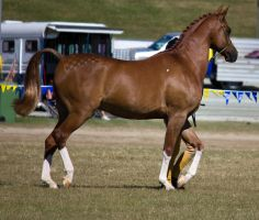 STOCK - Gold Coast show 121 by fillyrox