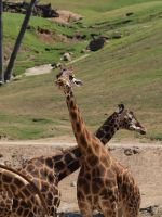 Giraffes by photographyflower