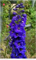 Royale Blue Delphinium by In-the-picture