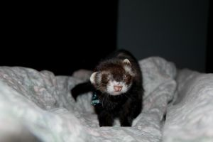 A Ferret named Phyllis by ScrayVyle