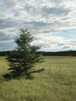 Lone Pine by midnightstouchSTOCK