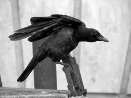 Crow, about to Fly by tracy-Me