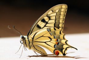 Papilio machaon / Yellow Swallowtail by JurajParis