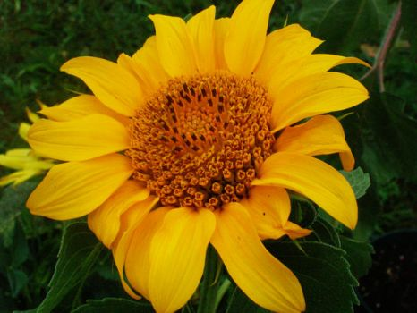 sunflower 9 by theonlysong