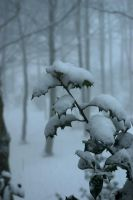 Snowy holly leaves by steppeland