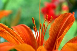 Orange Lily by ValerioChu