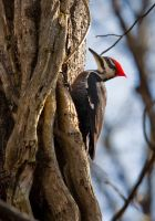 Pileated 2 by rctfan2