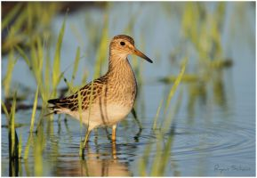 Pectoral Sandpiper by Ryser915