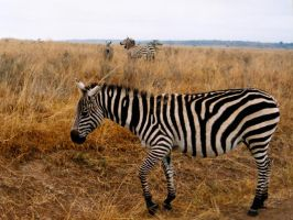 Zebra, all stripes... by steppelandstock