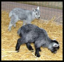 Baby Pygmy Goats by LuckyMax