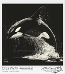 Scratchboard painting Orca by Pinselpfote