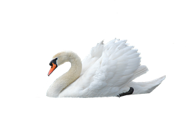 Mute Swan  png by VIRGOLINEDANCER1