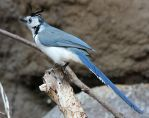 Bird 322 - white-throated magpie jay by Momotte2stocks