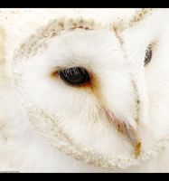 Barn Owl by Tandikes