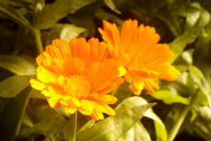 Orange Flower. by TomRolfe
