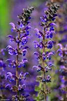 Summer Salvia by George---Kirk