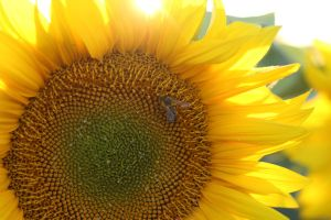 Bee on the sunflower by sztewe