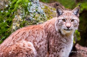 Lynx12 by PictureByPali
