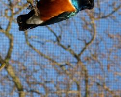 Superb starling by gee231205