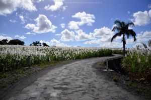 Sugarcane field road. by Gothumanity