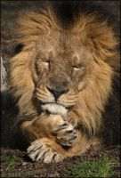 Sleeping Lion 43-039 by Prince-Photography