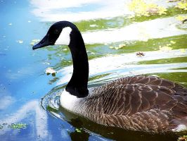 Canadian Goose by AcceptedOutcast