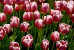 Pink Tulips by Giggle-Monster