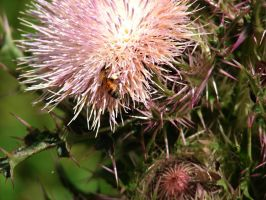 Bee With Thistle Addiction by Sharondipity