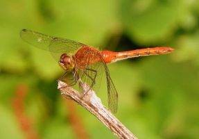 Red Dragonfly by PaganFireSnake