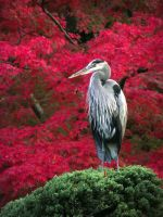 Great Blue Heron in fall by pyrexa