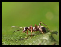 Ant on a leaf by Bigvicente