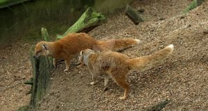 Yellow mongoose (2017-03-19) 3  by ValerieVivegnis