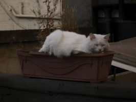Cat In Flower Pot 1 by icediamond7