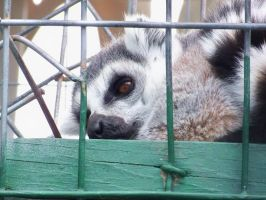 Lazy Lemur by TheComet