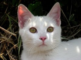 Young White Cat III by Foxytocin