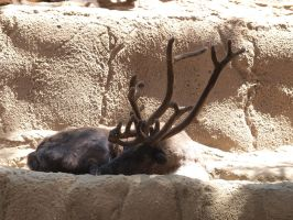 Reindeer lying down by photographyflower