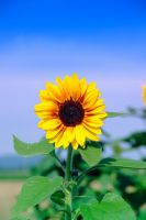 Sunflower by ApoTerra