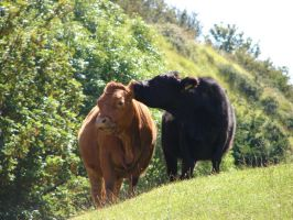 Friendly Cows 5782610 by StockProject1
