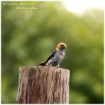 Lesser Striped Swallow by FromSleepyHollow