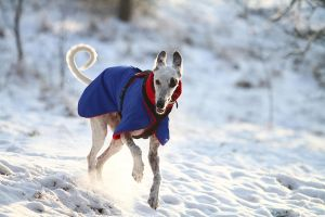 Sighthound in action by Frank-Beer