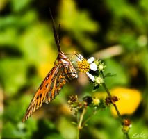 Hungry Butterfly by wolmers