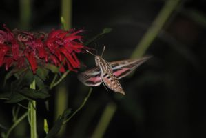 Hummingbird Moth 1 by Tyyourshoes