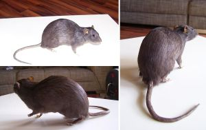 Rat commission by DeerfishTaxidermy