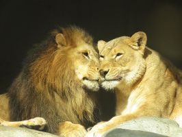 Lion Couple by SheltieWolf