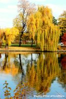 The Weeping Willow by Dristor2507