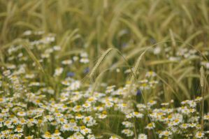 field with daisies. by maslenkina