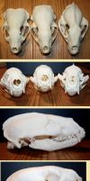 badger skulls comparison by Nimgaraf